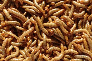 Levende Meelwormen per 250 Gram
